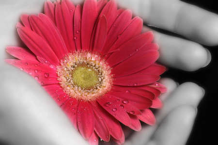 A pair of black and white hands holding a pink gerbera daisy. photo