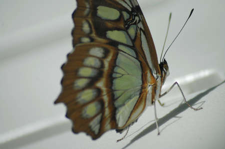 A delicate brown, yellow, and orange butterfly. Imagens