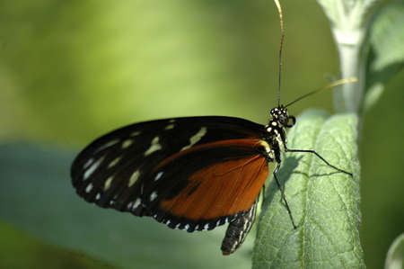 A small orange, black, and yellow butterfly crawling up a green leaf. Stock Photo - 424497