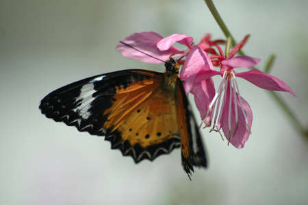A bright orange butterfly with wings extended hanging onto a pink flower.