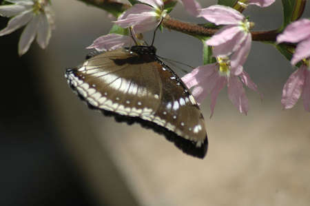 A brown and white butterfly suspended on a branch with pink flowers.