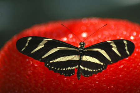 A black and yellow striped butterfly resting on a bright red sponge. Stock Photo - 424484