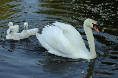 A mother swan and three cygnets.