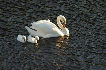 A mother and two cygnets bowing their heads gracefully.