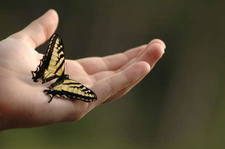 swallowtail: An Eastern tiger swallowtail butterfly on an outstretched hand. Stock Photo