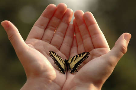 swallowtail: An Eastern tiger swallowtail butterfly on two outstretched hands. Stock Photo