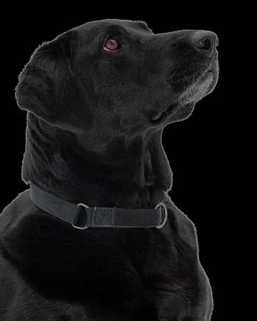 A black lab against a black background.