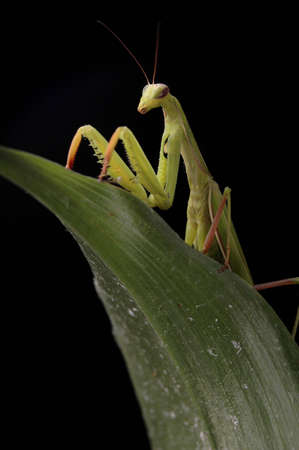 A praying mantis on a green leaf against a black background. Imagens