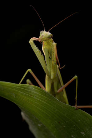 A praying mantis on a green leaf against a black background. photo