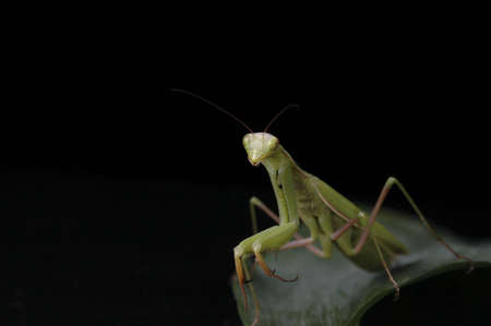 voracious: A praying mantis on a green leaf against a black background. Stock Photo