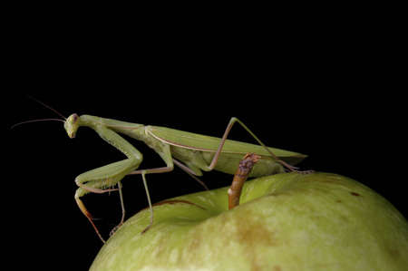 voracious: A praying mantis on a green apple against a black background. Stock Photo