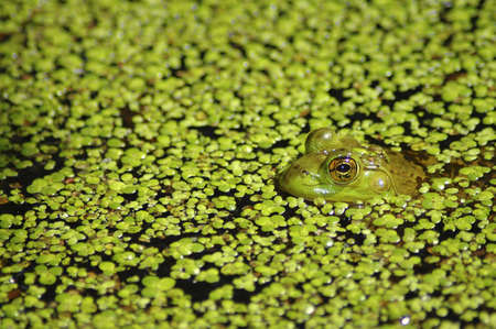 A green frog camouflaged in a pond. photo