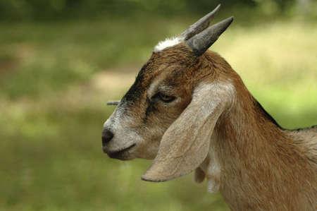 pygmy goat: A portrait of a pygmy goat.