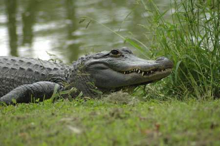 An alligator resting at the waters edge. Imagens