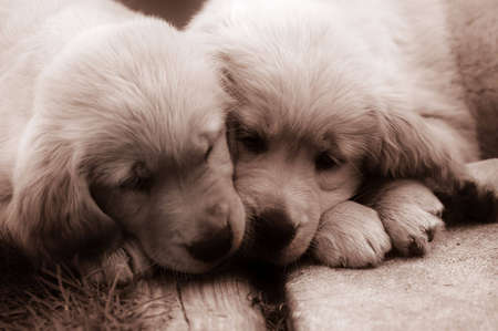 A sepia-toned picture of two adorable golden retriever puppies. Imagens