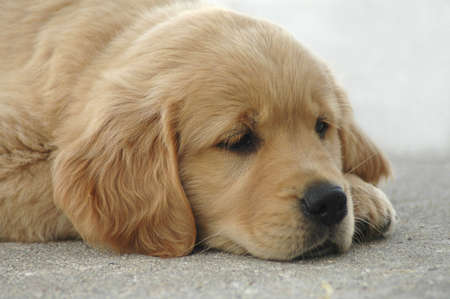 A picture of a slumbering golden retriever puppy. Imagens