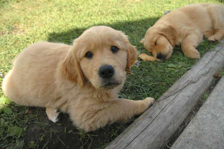 A golden retriever puppy looks at the camera as its sibling slumbers in the background.