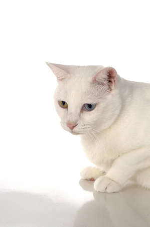 A white cat with one blue eye and one yellow eye against a white background. Stock fotó - 706184