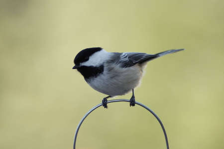 A chickadee perched on a metal hoop.