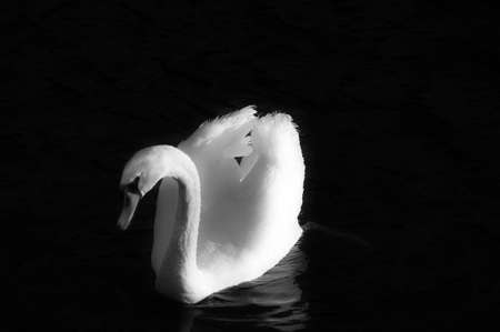 A swan glides across water. Black and white. Imagens