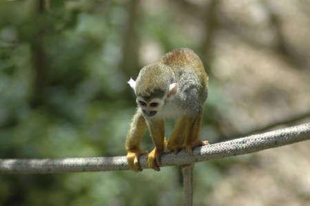 An adventurous squirrel monkey balances on a rope. Reklamní fotografie