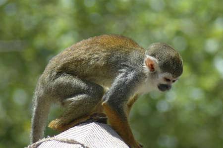 An adorable squirrel monkey.