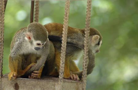 Two sqirrel monkeys playing. Reklamní fotografie
