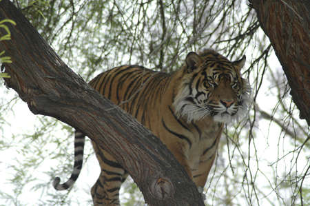 A tiger uses a tree as a vantage point.