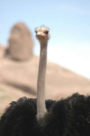 An ostrich stares at the camera.