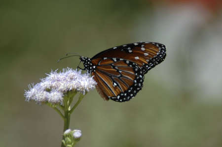 A monarch butterfly sips nectar from a purple flower. Stock Photo