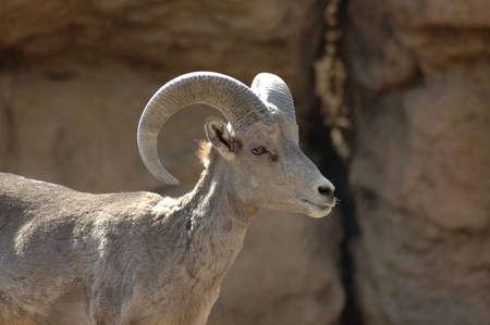 bighorn sheep: A portrait of a bighorn sheep.