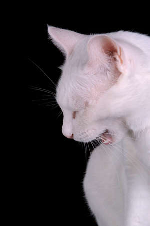 A white yawning cat against a black background. The cat appears to be angry. Stock Photo - 1567116