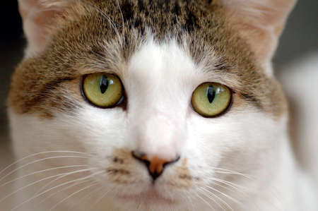 alarmed:  closeup of a golden-eyed cat. The cat looks alarmed. Focus is on the eyes. Stock Photo
