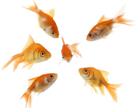 bigger: A small, frightened goldfish is surrounded by a mob of bigger goldfish. Stock Photo