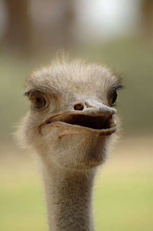 An open-mouthed ostrich stares at the camera. The ostrich appears to be speaking.