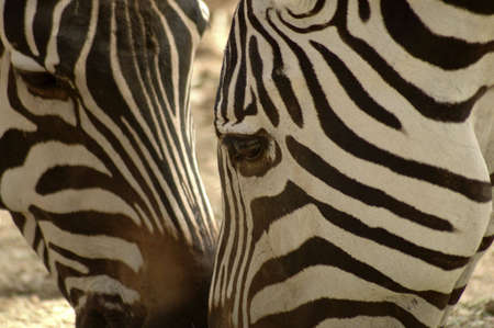 chums: Two zebras greet each other by touching noses. Stock Photo