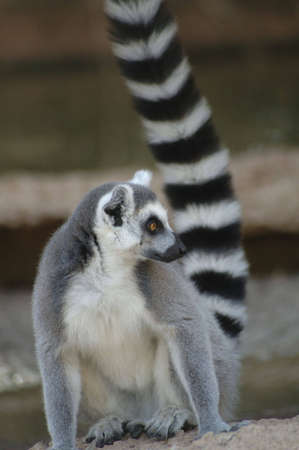 A portrait of an adorable ring-tailed lemur.