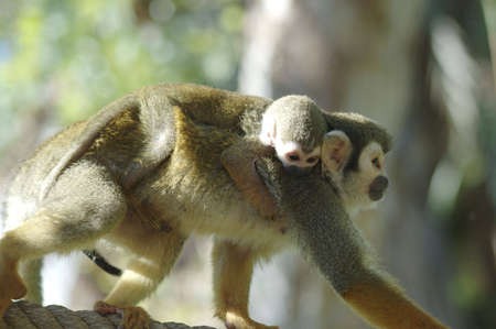 A mother squirrel monkey carries her  on her back. Stok Fotoğraf