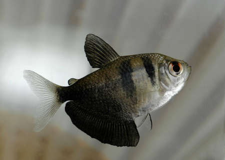 A macro shot of a high-fin tetra against a striped background. Stock Photo - 2344089