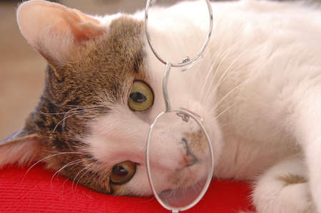 A cute cat wearing spectacles and lying on a red pillow. Banco de Imagens - 2562125