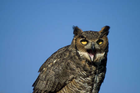 A closeup portrait of a Great Horned Owl against a blue sky. Stock Photo - 2629747