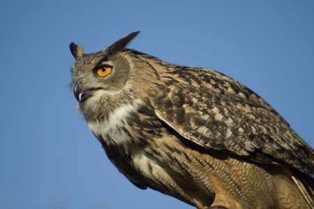A closeup portrait of a Eurasian Eagle Owl against a bright blue sky. Stock Photo - 2677653