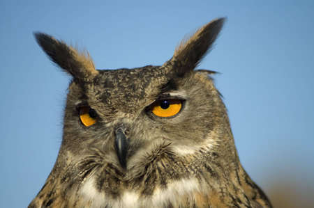 A closeup portrait of a Eurasian Eagle Owl against a bright blue sky. Stock Photo - 2677652