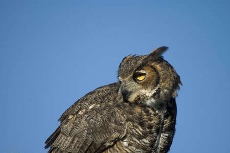 A closeup portrait of a Great Horned Owl against a blue sky. Stock Photo - 2739095