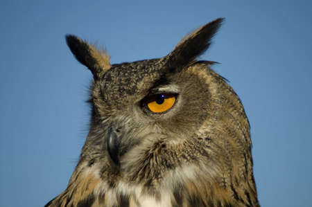 A closeup portrait of a Eurasian Eagle Owl against a bright blue sky. Stock Photo - 2739096