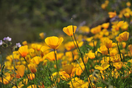 Golden Mexican poppies cling to a hillside.