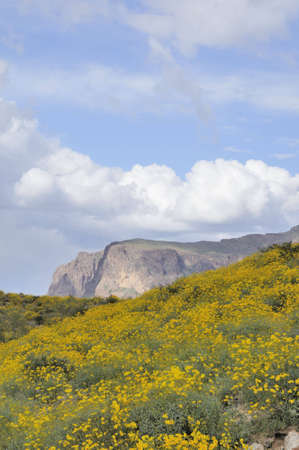 blanketed: A hill blanketed with yellow brittlebush flowers.