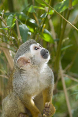 An adorable squirrel monkey stares at an object off-camera.