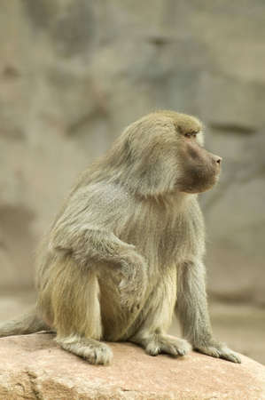 A baboon appears to be lost in thought.
