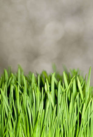 A patch of wheat grass in front of a gray background.